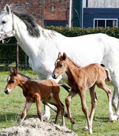 Natuurwonder: merrie brengt gezonde paardentweeling ter wereld