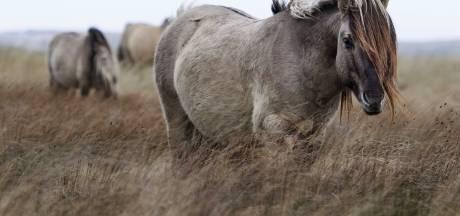 Animal Rights: Konikpaarden uit Oostvaardersplassen zijn niet geschikt om op te eten