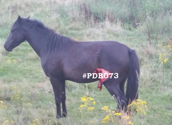 Het paard werd gevonden met een vleeswond bij het achterbeen.