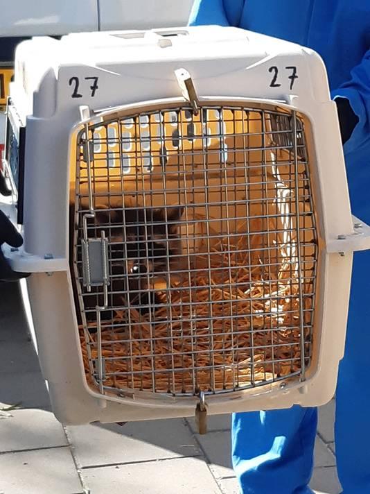 Vandaag werd nabij Sittard de eerste in het wild levende wasbeer aangetroffen in een vangkooi