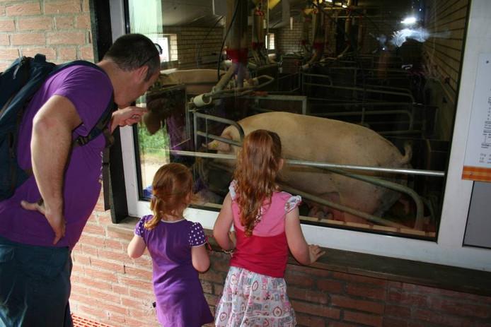 Bezoekers van het Weekend van het Varken kijken door vensters in de stallen. Ze komen zelf niet echt tussen de varkens.