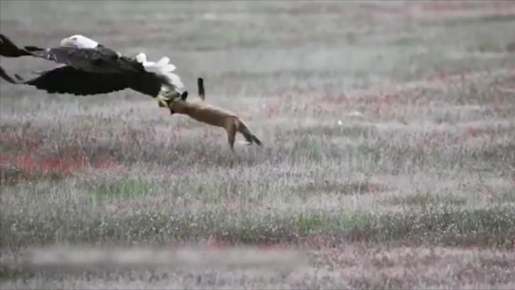 Vos vangt konijn, maar dan slaat een adelaar toe