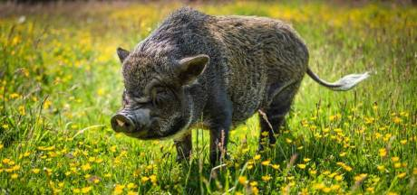Vlaams stel neemt minivarken Bacon zelfs mee naar restaurant