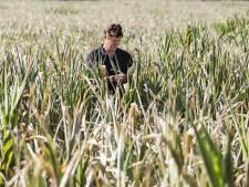 Oogsten weer mislukt: mais en groenten in de Achterhoek verloren door tweede droge zomer