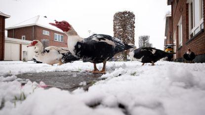 Eendenterreur in Otterbeek: stad laat dieren vangen