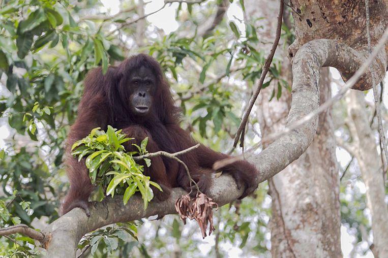Een orang-oetan. Beeld epa