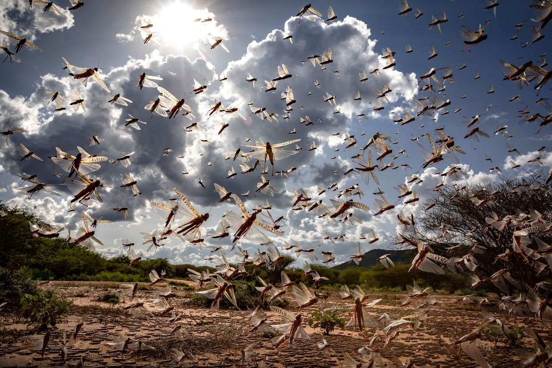 Woestijnsprinkhanen inKipsing, near Oldonyiro, in Kenia.