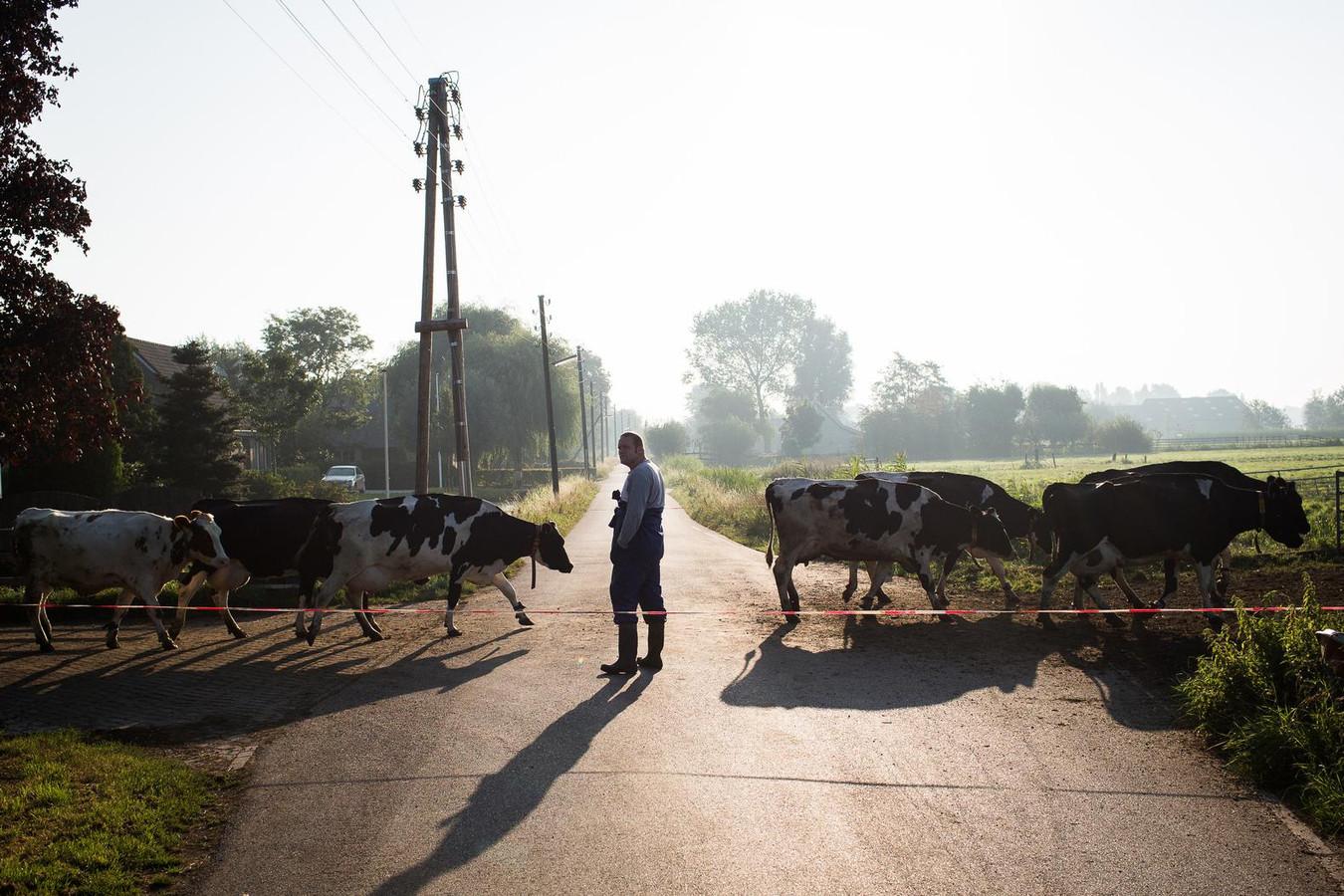 De koeien van Jaap Schep in Bergambacht steken de weg over.