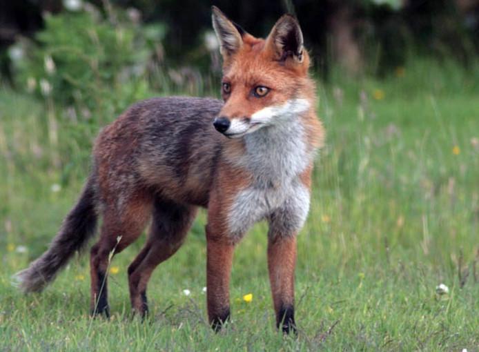 Een vos. Foto ter illustratie.