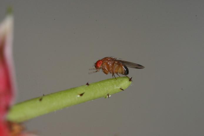 De Suzuki-fruitvlieg is piepklein, maar kan voor miljoenen euro's schade aanrichten.