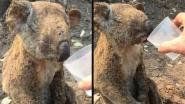 Koala raakt zwaar verbrand, reddende engel geeft water en brengt haar naar kliniek