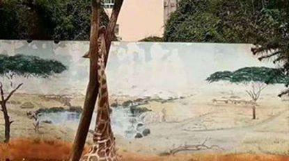 Giraf sterft in Chinese zoo nadat hij vast komt te zitten