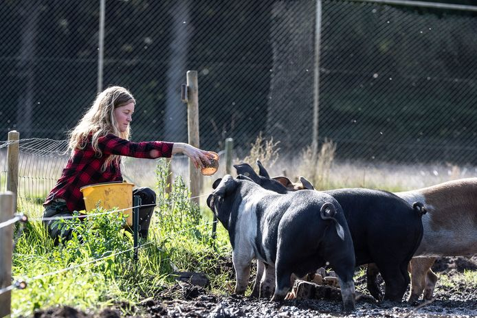 Archieffoto. Stadsboerin Ellen Willems bij haar varkens.