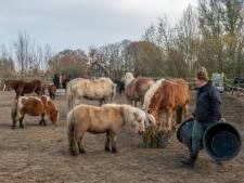 Pony's ontsnappen 8 (!) keer uit opvang Ermelo, nu dreigt een boete: 'Maar het schrikdraad is doorgeknipt'