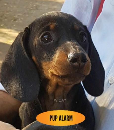 Team zoekt massaal naar vermiste puppy Koosje