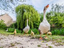 Ganzenpopulatie wordt uitgedund door nestbewerking