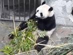 Oog in oog met panda's Wu Wen en Xing Ya