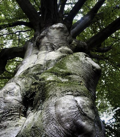 Drie bomen die de watersnoodramp overleefden mogen blijven staan in Wolphaartsdijk