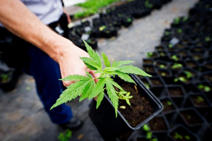 Bij een van de bewoners werd een hennepkwekerij met 68 planten gevonden. (Foto ter illustratie)