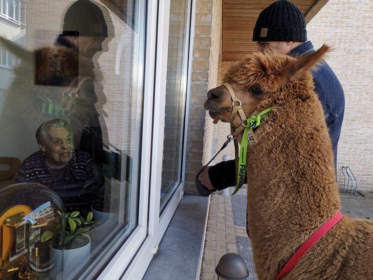 Alpaca James bezoekt de bewoners van woonzorgcentrum Castelmolen in Meerbeke.