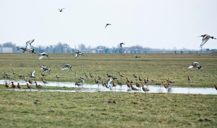 Weidevogels in de polder Rondehoep, Noord-Holland. Beeld