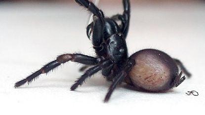 Grootste dosis tegengif ooit redt jongen van spinnenbeet