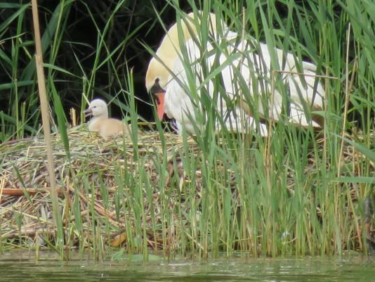 Blik op het nest van het zwanenpaar.
