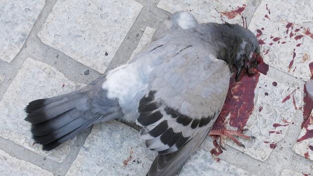 De Duif Zutphen.Dierenbescherming Laat Duif Doodvallen Nieuws Ad Nl