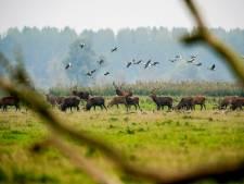 Afschotdiscussie over edelherten nadert ontknoping: 'Je krijgt de natuur er niet door terug'