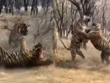 Gevecht tussen tijgerzussen levert spectaculaire beelden op