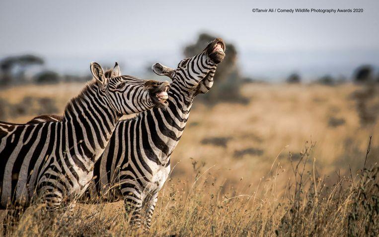 Deze zebra's in Kenia hebben de slappe lach.