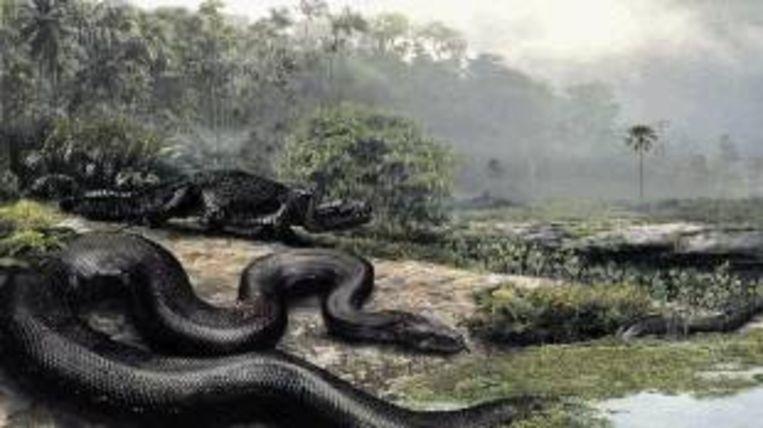 Impressie van de reuzenslang (13 meter lang, ruim 1100 kilo zwaar) die zestig miljoen jaar geleden in het huidige Colombia zou hebben geleefd. De huidige python en anaconda zijn er dwergen bij. (Trouw) Beeld