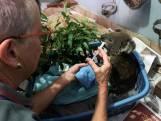 Dit ziekenhuis vangt door bosbranden getroffen koala's op