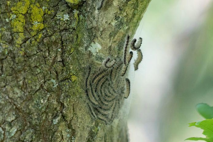 De rupsen zijn begonnen met het spinnen van nesten.  trefwoorden: eik, eiken, processie, processierups, eikenprocessierups, spinsel, brandharen, brandhaartjes, jeuk, jeuken,