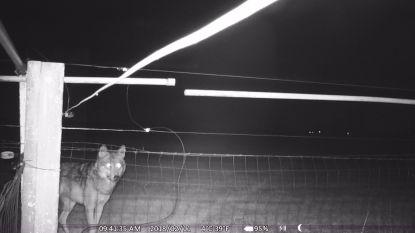 VIDEO. Camera filmt hoe wolf Gust moet afdruipen voor stroomdraad