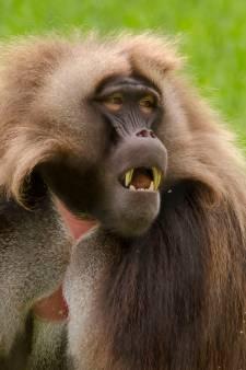 Fotogenieke gelada-aapjes steken gorillabaas Bokito naar de kroon
