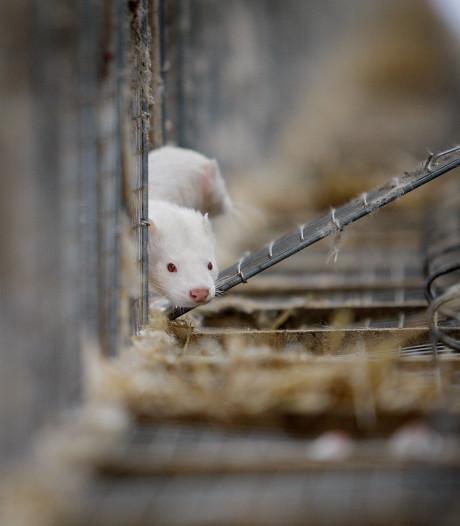 Onrust in de landbouwsector betekent nieuwe hoop voor nertsenfokkers