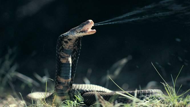 Om de vier minuten sterft iemand door slangenbeet