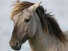 Paarden likken auto's kapot in Ooijpolder