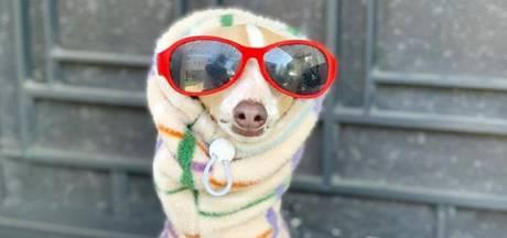 Windhondje Margaret is een populair 'supermodel' voor viervoeterfashion