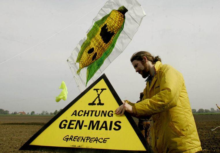 Genetisch gemodificeerd maïs. Beeld afp
