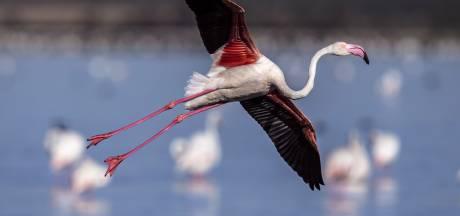 Flamingo's ontdekken Stad en omgeving: ze zijn gespot in Onlanden en Reitdiepdal