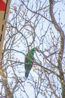 Felgroene edelpapegaai na uren in de boom te zitten weer gevangen
