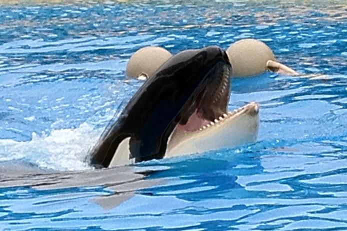 De verhuizing van orka Morgan van het Dolfinarium in Harderwijk naar Tenerife is rechtmatig verlopen. (foto ANP)