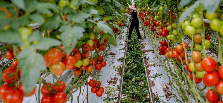 Een studente plukt blad van de tomatenplanten in een kas van een kwekerij in De Lier. Beeld anp
