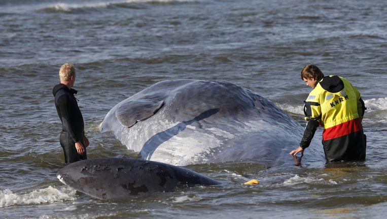 Potvis in 2013 gestrand op de kust van Terschelling. Beeld anp