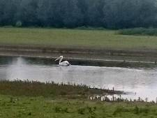 Zeldzame pelikaan weer gezien bij Wijhe