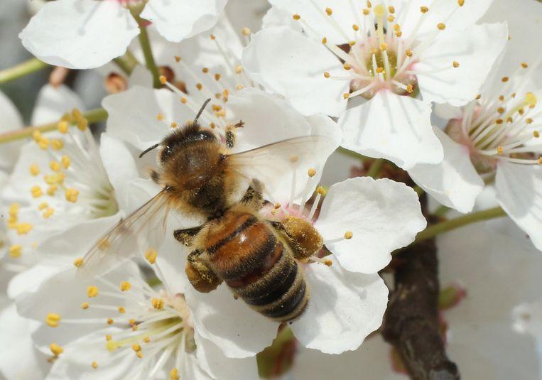 Een honingbij. Beeld Getty