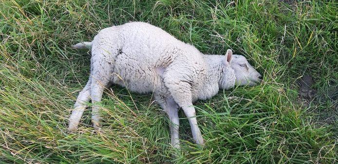 Het schaap bleek volgens de boer 'dronken' te zijn.