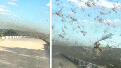 VIDEO: Een hallucinante rit recht doorheen een zwerm sprinkhanen